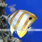 Beautiful-Angelfish-(FunRocker.Com)-01
