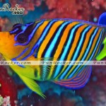 Beautiful-Angelfish-(FunRocker.Com)-02