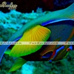 Beautiful-Angelfish-(FunRocker.Com)-03