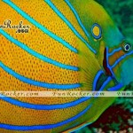 Beautiful-Angelfish-(FunRocker.Com)-04