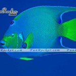 Beautiful-Angelfish-(FunRocker.Com)-05