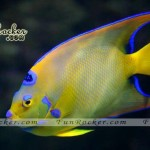 Beautiful-Angelfish-(FunRocker.Com)-06