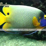 Beautiful Angelfish